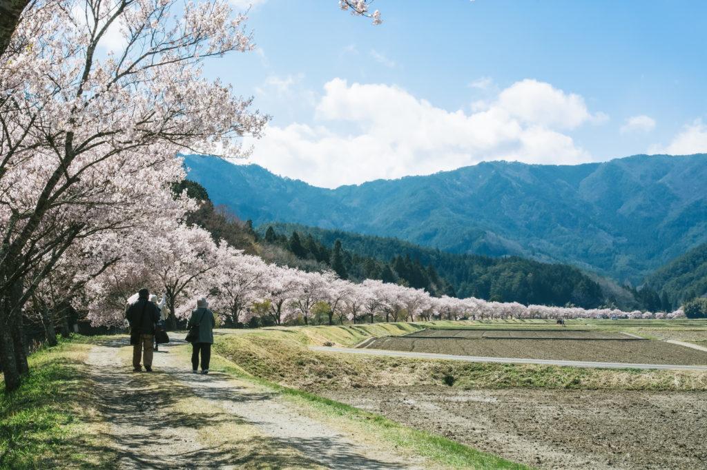 桜の開花も早い!?関越道沿いの新潟桜情報
